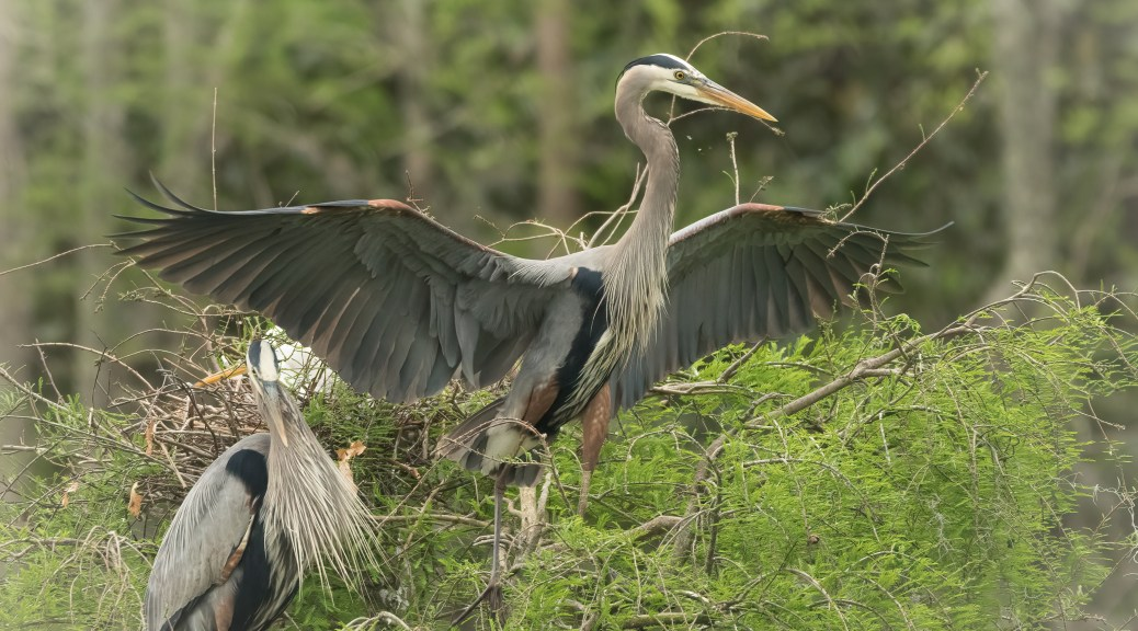 Great Blue Leaving A Swamp