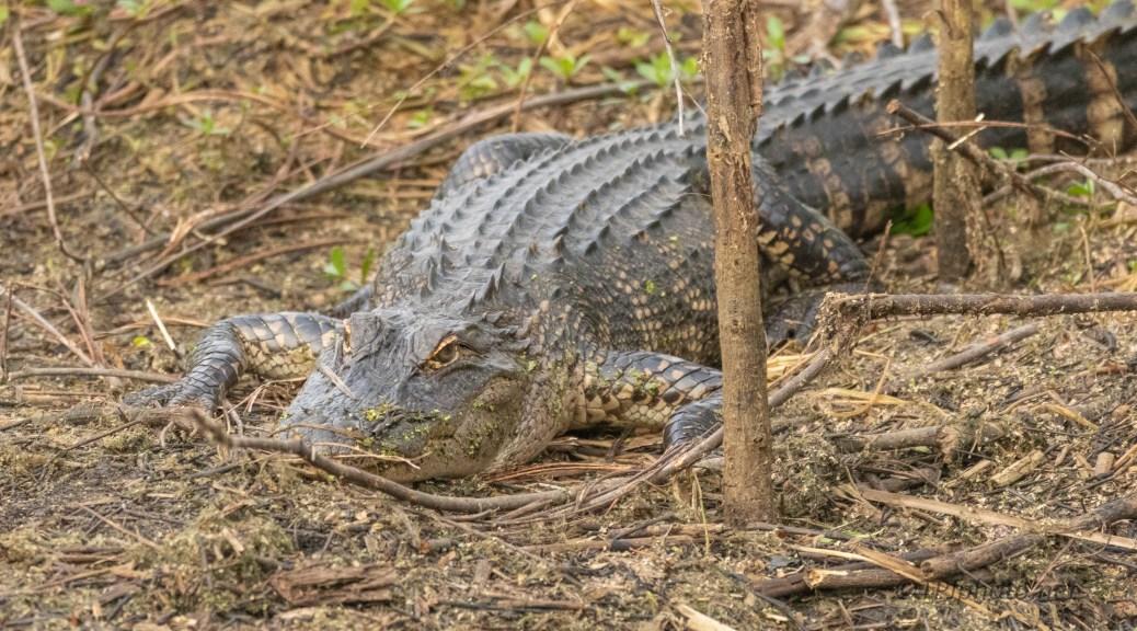 On High Ground In A Marsh, Alligator