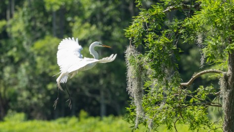 Fly By, Great Egret