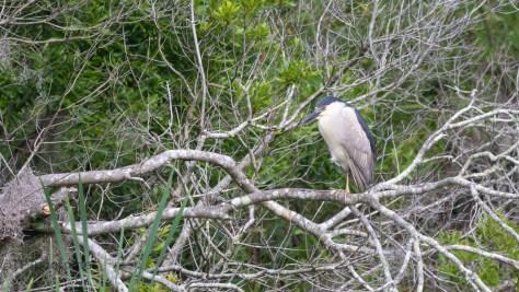 Black-crowned Pair