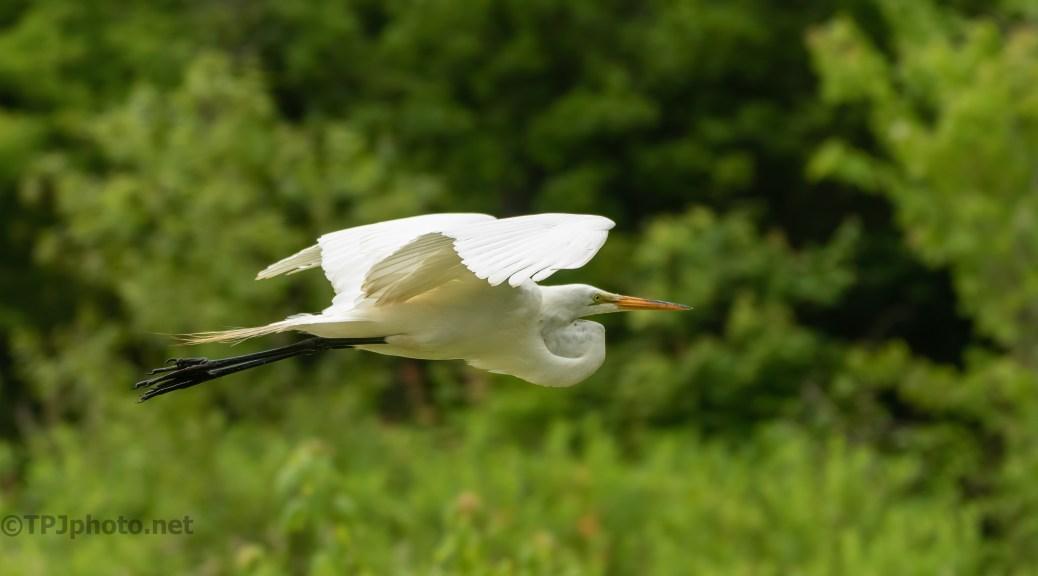 Elegant Great Egret