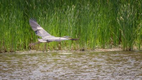 Fast From The Dike, Heron Fast From The Dike, Heron