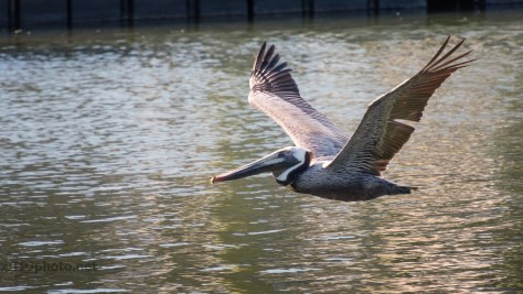 Brown Pelican In Low