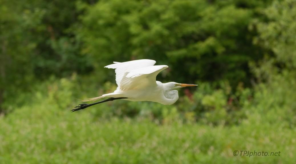 Following A Great Egret