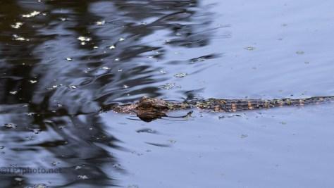Watching The Children, Alligator