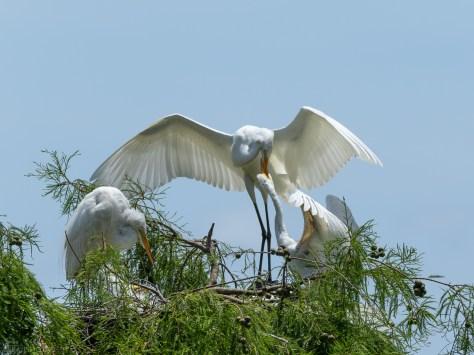 Egret Feeding The Dominate Chick