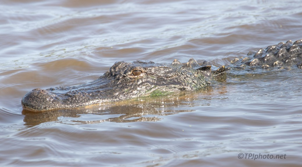 Alligator In A Rice Field
