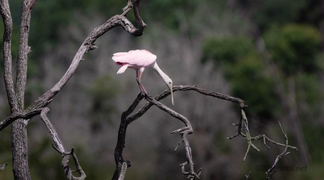 South Carolina Roseate Spoonbill