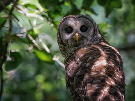 Owl Watching Over A Juvenile