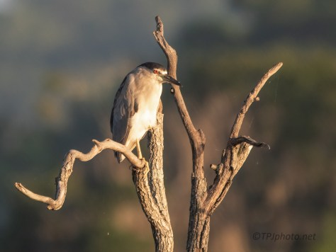 Marsh Morning, Black-crowned Night Heron