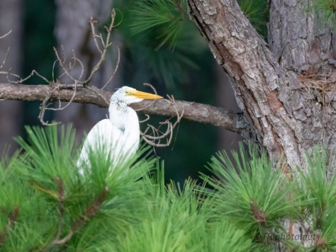 Looking A Little Ragged, Egret