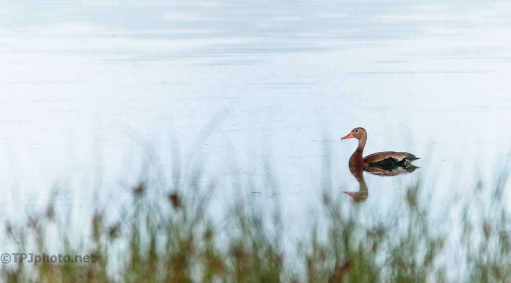 Whistling Duck, Needs To Be Careful