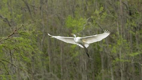 Graceful Entrance, Egret