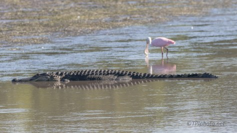 Ignoring Each Other, Alligator And Spoonbill