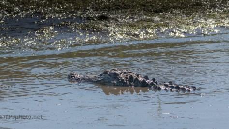 Checking A Dike, Alligator (2)