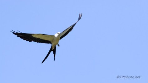 Swallow-Tailed Kite, Master Acrobat