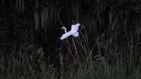 Egret Slpping By