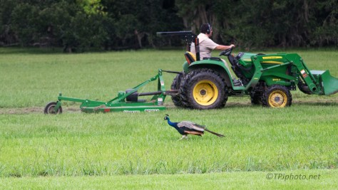 Typical (Almost) Birds Following Tractor