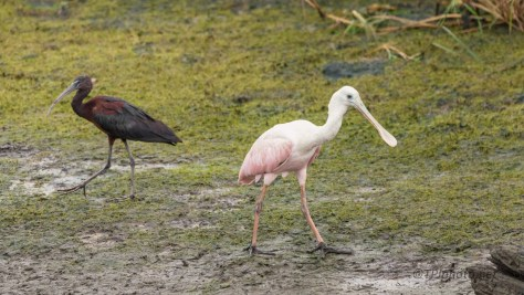 A Two'fer, Glossy Ibis And Roseate Spoonbill
