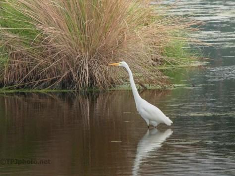Walking A Marsh, Great Egret