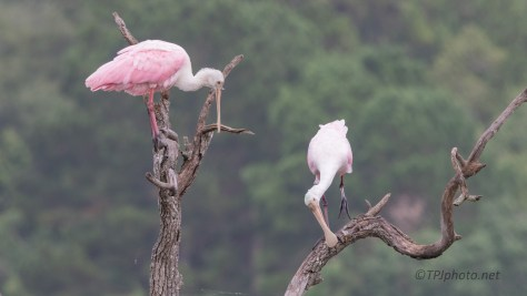 Doing Spoonbill Things