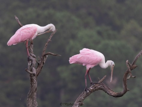 Having A Conversation, Roseate Spoonbill
