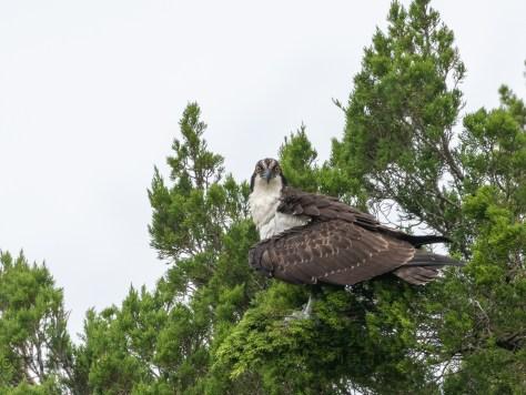Osprey In A Pine