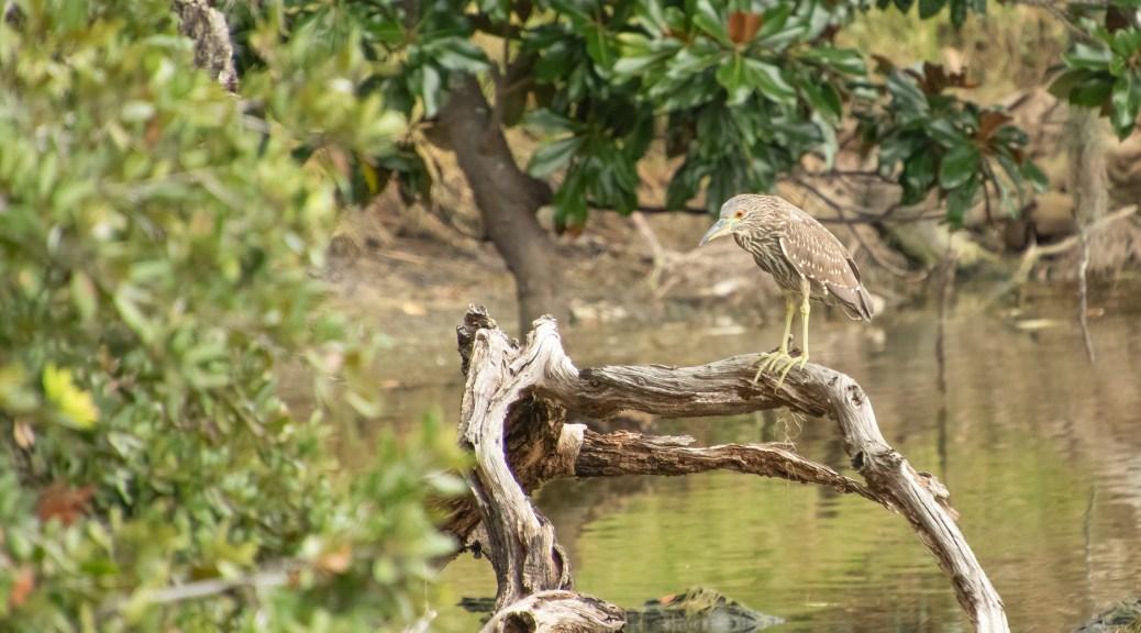 Night Heron On A Pond