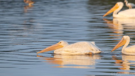 Ahead Of The Pack, White Pelican