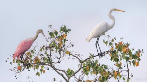 Sitting Pretty, Spoonbill And Egret