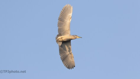 Fly Around, Black-crowned Night Heron