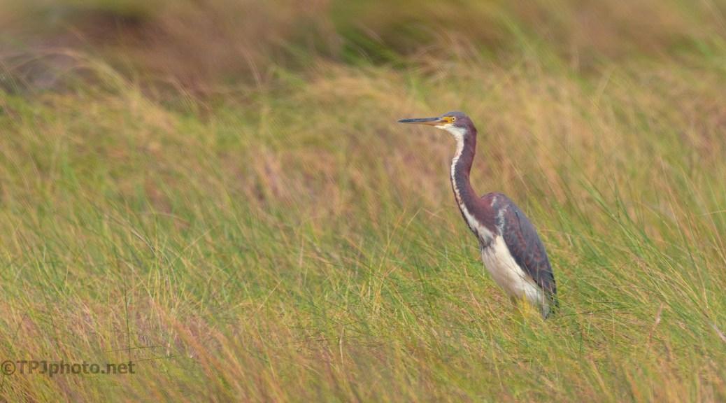 Tall Grass, Heron