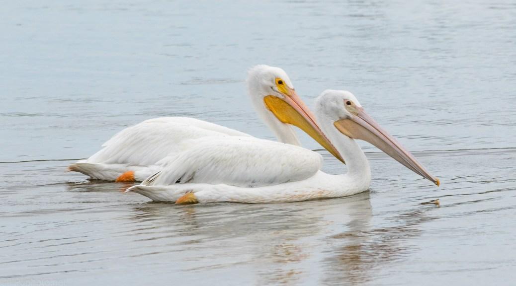 White Pelican Passing