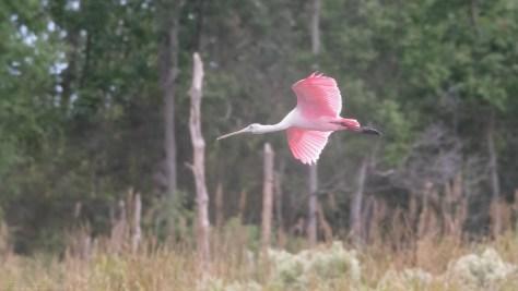Spoonbill Near Woods