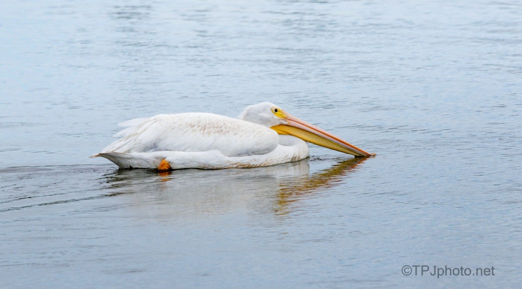 A Fishing Circle, Pelican