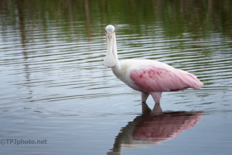 The Classic Confused Looking Spoonbill