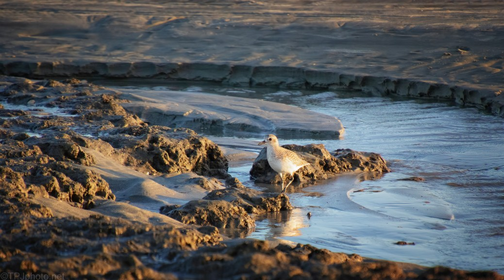 Late Day Plover