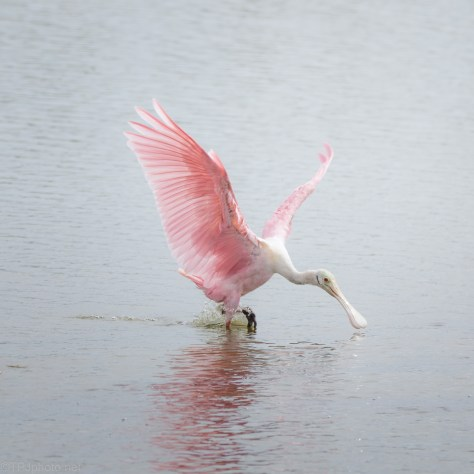 Dropping In, Roseate Spoonbill