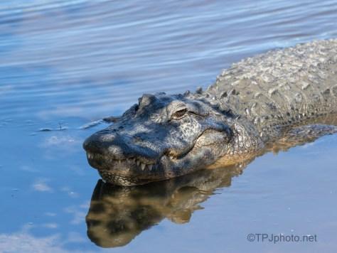 A Big Grin, Alligator