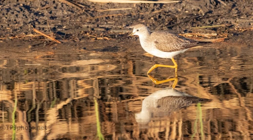 Yellow Legs (Lesser)