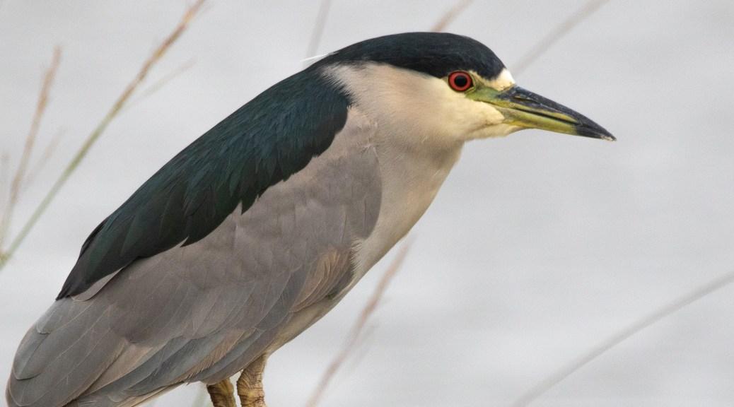 Night Heron, Blacked-crowned