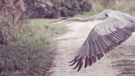 Fast Fly By, Great Blue