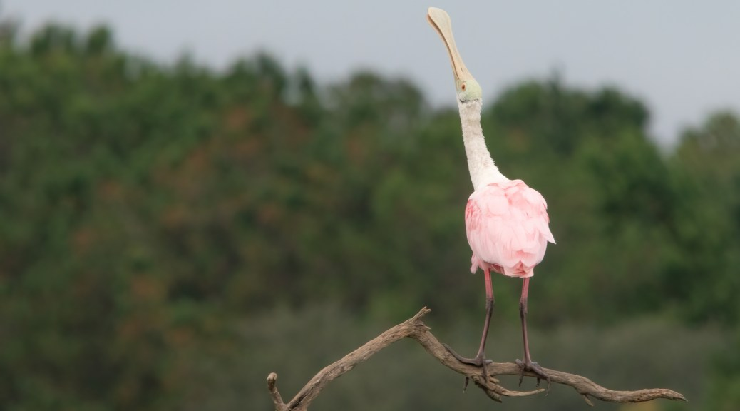 Calling For The Other Spoonbills