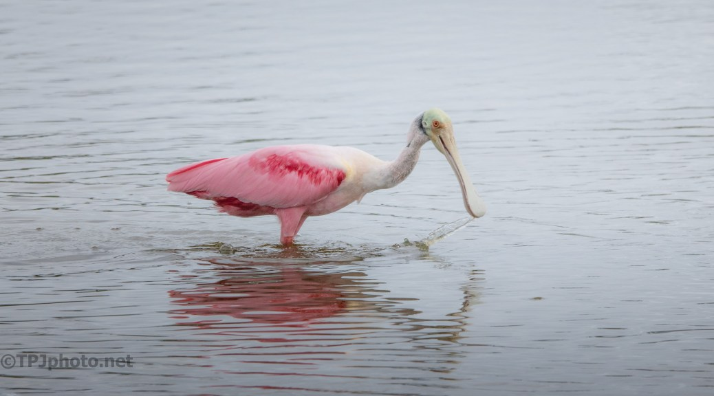 Roseate Spoonbill Sifting Water For Food