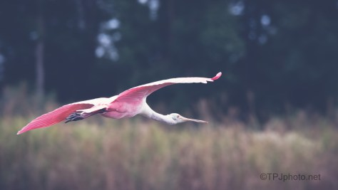 Heading Out, Spoonbill