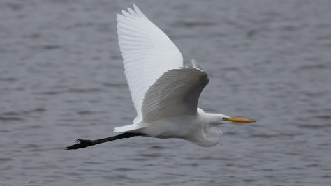 Great Egret Passing