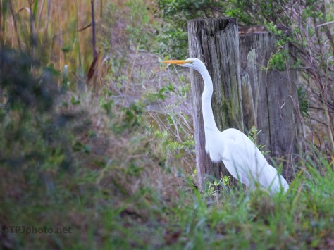 Egret On A Dike