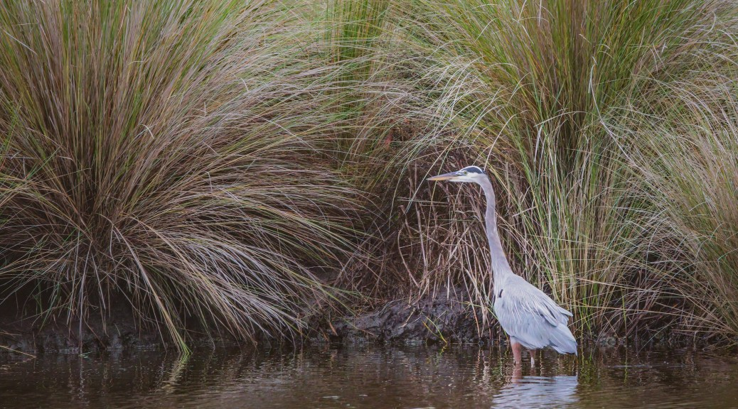 In The Tall Grass, Great Blue