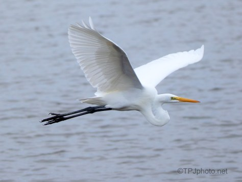 Great Egret Passing By