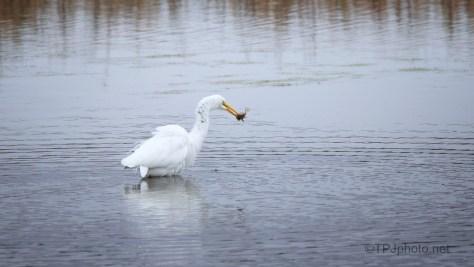 OK - Now I Wait, Great Egret